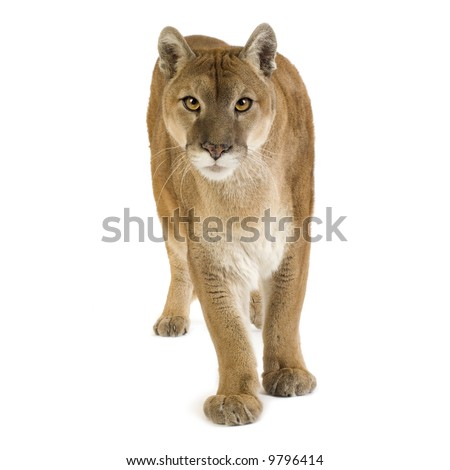 Puma (17 years) - Puma concolor in front of a white background - stock photo