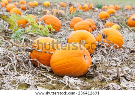 Pumkin field with different types of pumpkin on autumn day. Huge orange vegetables on a farm. Thanksgiving or halloween holiday, pumpkin patch. - stock photo