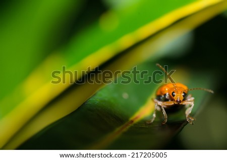 Pumpkin beetle bug