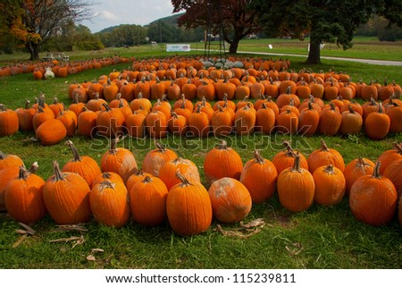 Pumpkin crop - stock photo
