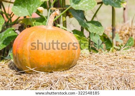 Pumpkin farm production in rural areas, the harvest season. - stock photo