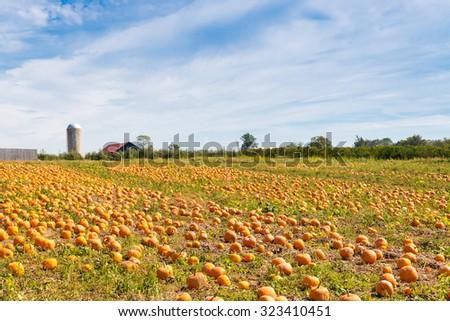 Pumpkin field in a country farm in Kentucky, USA.   Autumn landscape. - stock photo
