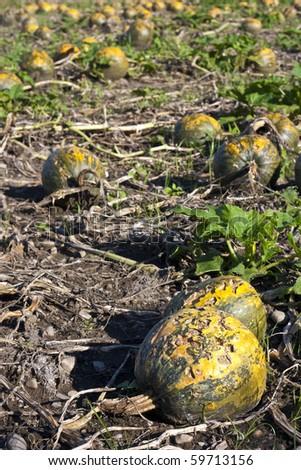 Pumpkin field rotten after hailstorm - stock photo