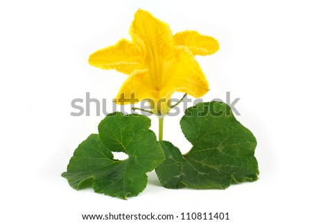 Pumpkin flower and leaves isolated on white - stock photo