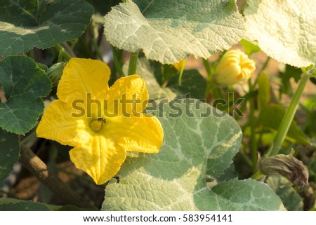 Pumpkin flowers
