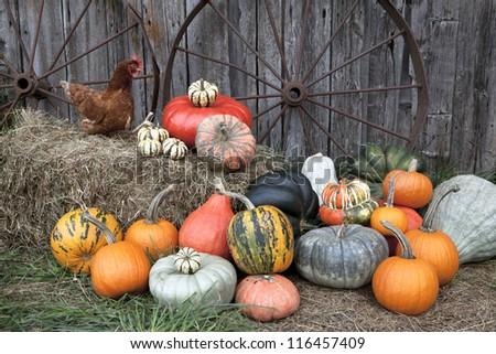 Pumpkin Harvest - stock photo