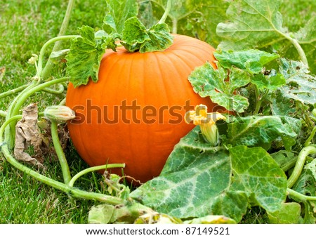 Pumpkin in field within green leaves - stock photo