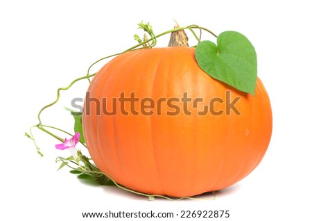 pumpkin on a vine isolated white background - stock photo