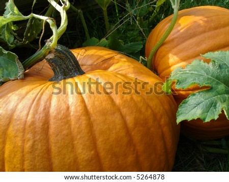 Pumpkin patch close up - stock photo