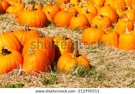 Pumpkin patch in a field of straw. Background for fall, autumn, Halloween, Thanksgiving, seasonal display.