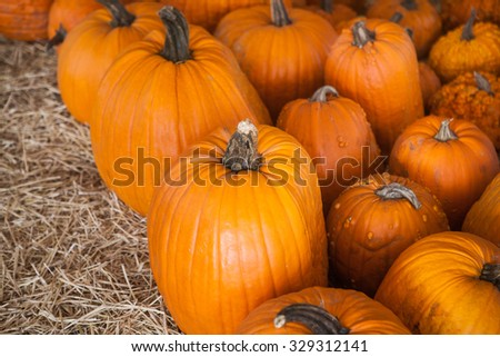 Pumpkin patch in a field of straw. Background for fall, autumn, Halloween, Thanksgiving, seasonal display. A pile of pumpkins