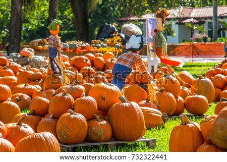 Pumpkin patch in Florida, Miami before Halloween and Thanksgiving holidays