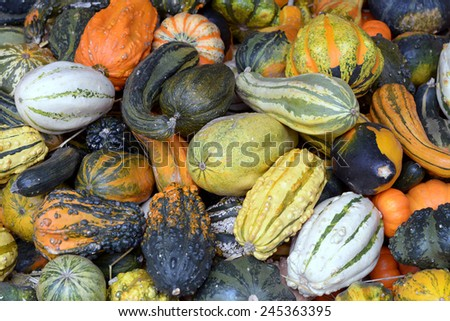 pumpkin patch under sunny day in October  - stock photo
