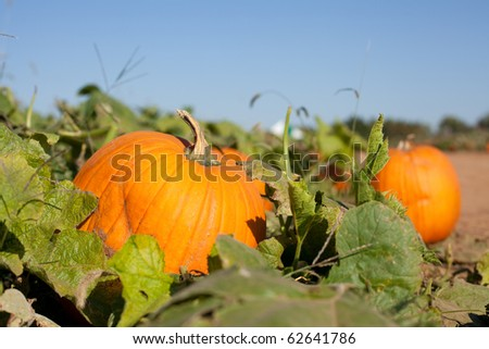 Pumpkin patch will shallow depth of field. - stock photo