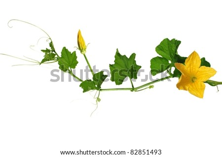 pumpkin's stem from flowers and leaves on white background - stock photo