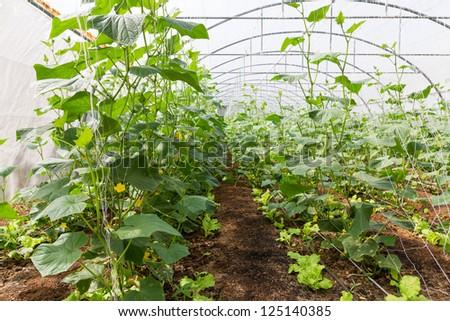 Pumpkin vines grow plants growing in a greenhouse - stock photo