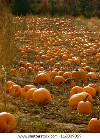 Pumpkins and pumpkins and pumpkins oh my!