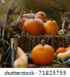 Pumpkins at harvest - stock photo