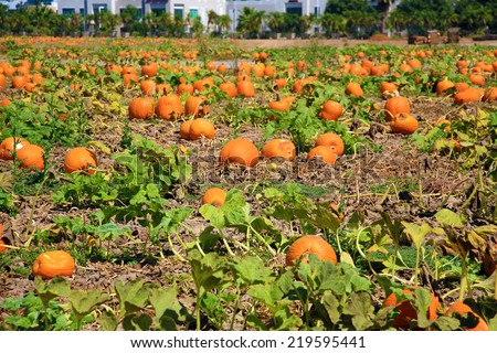 Pumpkins going on a Pumpkin farm - stock photo