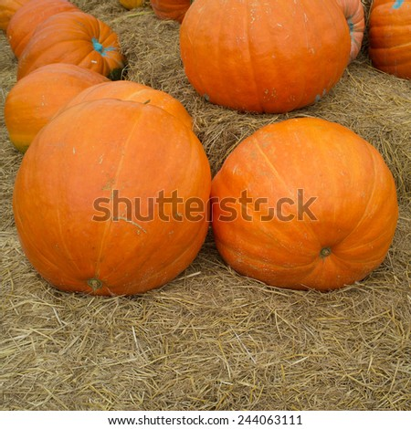 Pumpkins, gourds and squashes in a colorful assortment - stock photo