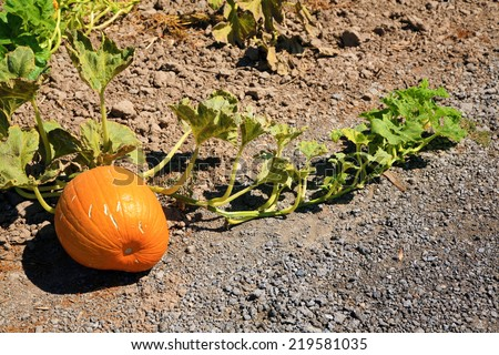 Pumpkins growing in a Pumpkin Patch. A pumpkin is a cultivar of the squash plant, most commonly of Cucurbita pepo, that is round, with smooth, ribbed skin and deep yellow to orange coloration.  - stock photo