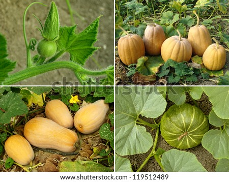 pumpkins in a garden - stock photo