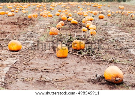 Pumpkins in a pumpkin patch ready for Halloween and Fall harvest