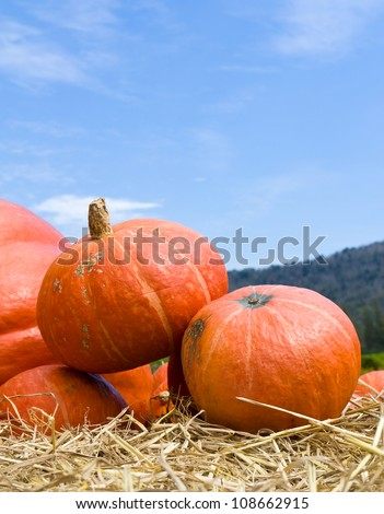 Pumpkins  in farm rural country field produce harvest holiday - stock photo