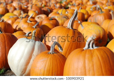 Pumpkins in Patch Waiting to Be Chosen and Taken Home to be Carved, Baked as a Pie, or Pureed into Soup with copy space in the bokeh. - stock photo