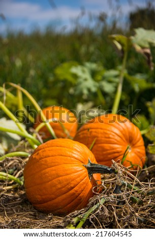 Pumpkins in pumpkin patch against a faded blue sky in rural Pennsylvania. - stock photo