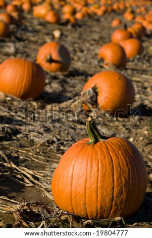 Pumpkins in the field - stock photo