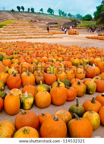 Pumpkins of all sizes, colors and types fill a field at a CA pumpkin farm.