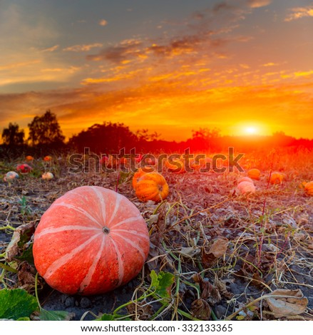 pumpkins on evening field against sunset background - stock photo