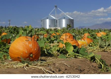 Pumpkins on the farm - stock photo