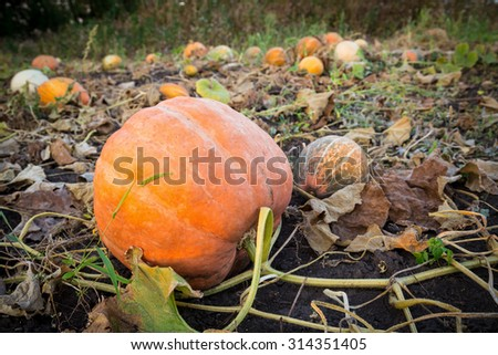 Pumpkins patch field with big ripe squash - stock photo