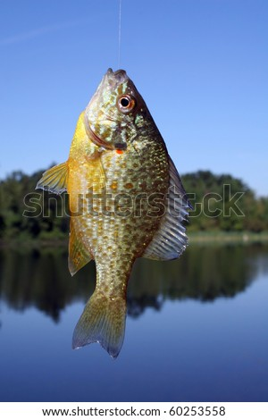 Pumpkinseed Sunfish - stock photo