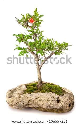 Punica granatum bonsai isolated on white - stock photo