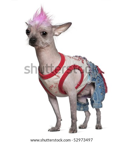 Punk dressed Mexican hairless dog, 4 years old, standing in front of white background - stock photo