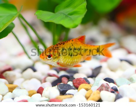 Puntius semifasciolatus(Barbus semifasciolatus ) - aquarium fish  - stock photo