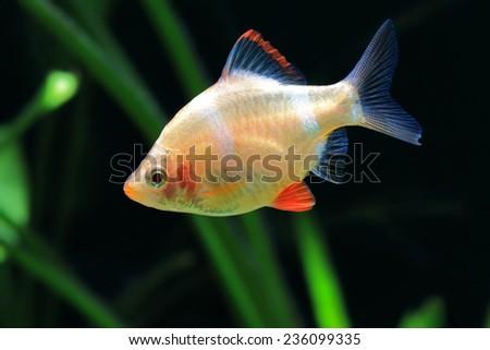 Puntius tetrazona - stock photo