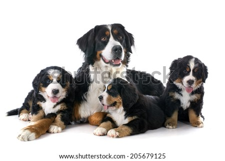 pupies and adult bernese mountain dog in front of white background - stock photo