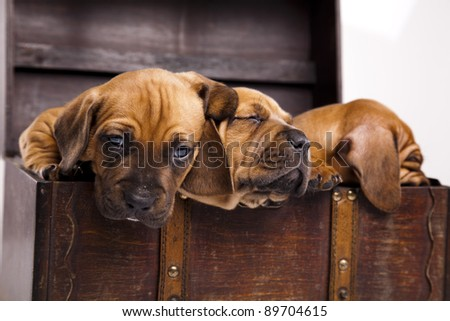 Puppies amstaff,dachshund - stock photo