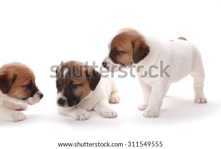Puppies breed Jack Russell Terrier, 1 months old. Isolated on white. - stock photo