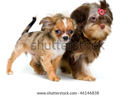 Puppies chihuahua and a colour lap dog