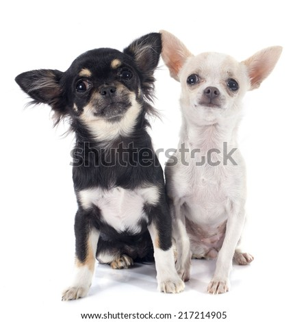 puppies chihuahua in front of white background - stock photo
