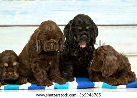 puppies Cocker spaniel - stock photo