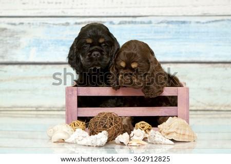 Puppies Cocker spaniel in a box - stock photo