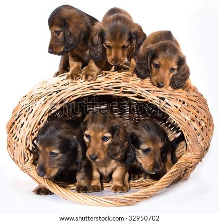 puppies dachshund - stock photo