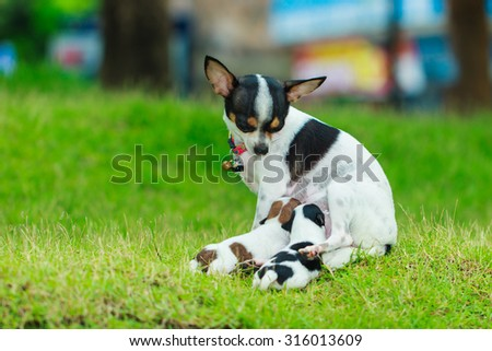 Puppies eat milk-A cute puppy, a dog, a Chihuahua, dog - focus on front - blurred background. - stock photo