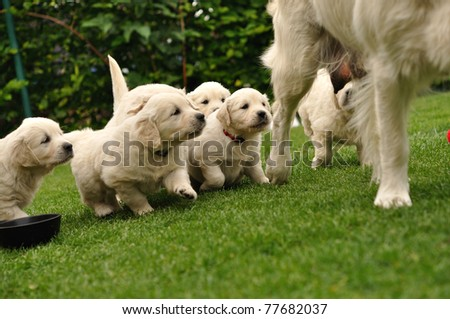 Puppies flocking after their mother - stock photo